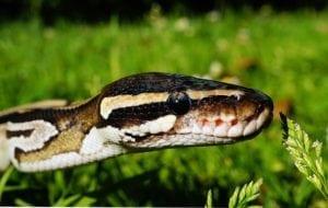 pisces sign symbol snake