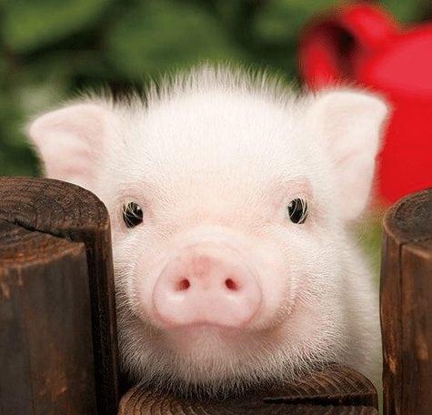 pig pisces