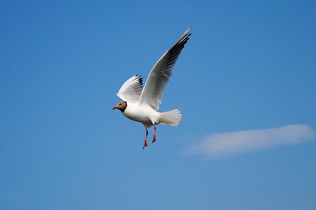 Pisces Sign: Seagull