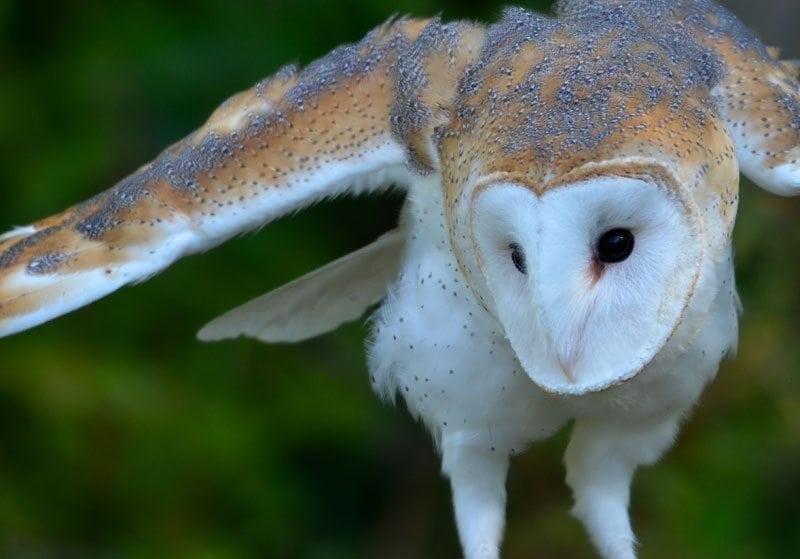 Owl Heart Face