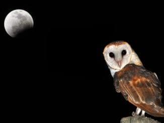 owl tattoo men