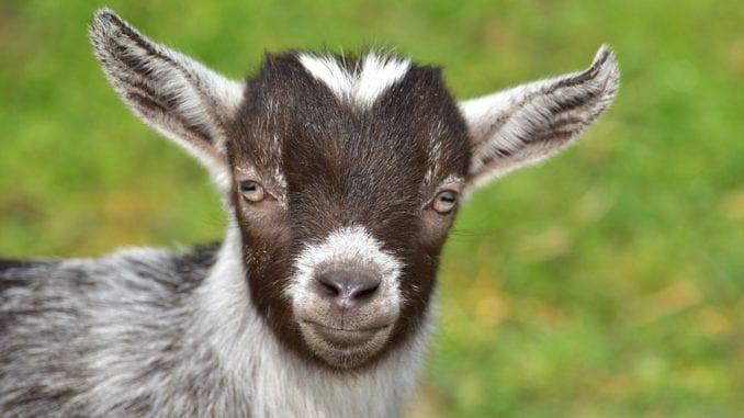 cute goat representing capricorn
