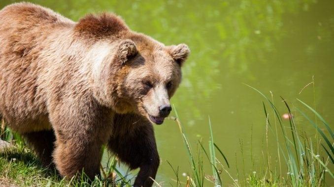 brown bear attack