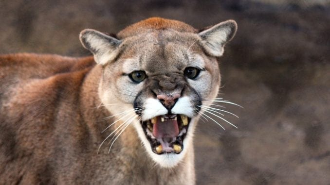 cougar attack