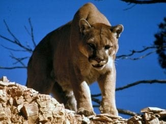 mountain lion cougar attack