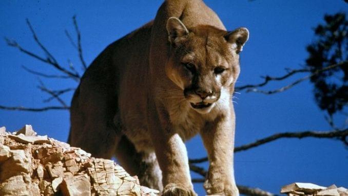mountain lion cougar attack
