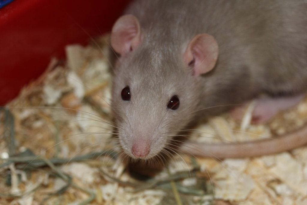 What Dreams About Rats Mean (Biting, Crawling and Running) | Guy