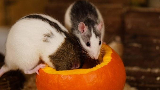 Rats at Halloween